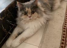 قطه شيرازي أنثئ العمر 7شهور