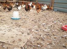 دجاج منتج عماني  تواصل معي على الواتس
