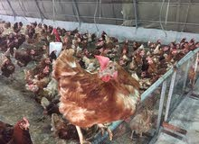 دجاج احمر بياض