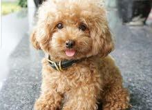 أرغب بشراء مثل هذا النوع من الكلاب