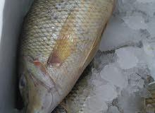 سمك طازج 100/100 من سمكة كنز البحار  يوجد خدمة توصيل وتنظيف مجاني في إربد وقراها