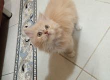 قطه شيرازي للبيع العمر 50 يوم