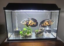 Aquarium set (60x30x45 cm)+ two tiger Oscars (~22cm each), 400 SAR final