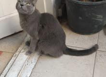 (russian blue cat) بنت