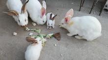 6 أرانب ألماني للبيع