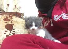 قطط شانشيلا تركش
