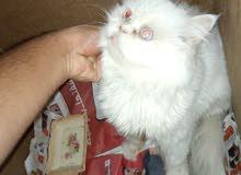 قطة هاملايا