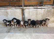 كلاب هاسكي (pure)