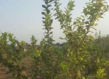 مزرعة في الأغوار منطقة الكرامة للبيع بسعر كاش