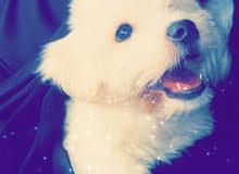 كلب مالتيز العمر شهرين