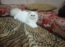 قط هملايا ذكر  كريمي بيكي فيس مستوى عالي
