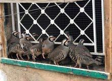طيور حجل/شنار للبيع / اربد-0779487423