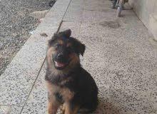 كلب جيرمن شيبرد للبيع لونج هير
