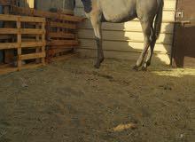 مهر حصان العمر سنه وشهرين تقريبا