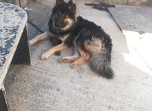 كلب جيرمن  شيبرد   شعر طويل عمر 7 شهور