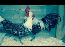 دجاج فيومي مصري بياض