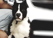 كلب «بولي» للبيع فقط ...