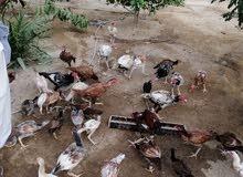 ديوك ودجاج باكستاني اصل