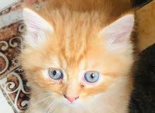 قطط شيرازيات للبيع او مراوس