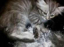 قطه فارسية للبيع
