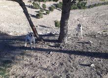كلاب بونتر صيد جاهز