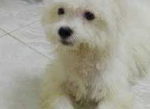 ابغا اشتري كلب صغير مالتيز او اي شي عادي