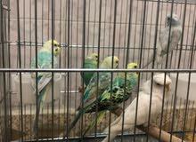 مجموعة طيور اقرة الوصف