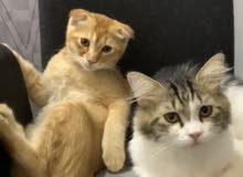قط سكوتش و قط شيرازي للبيع