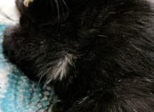 قطه بلاكي للبيع