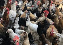 دجاج عربى وفيومى بياض