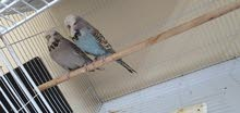 4 pairs of English Budgies with cage