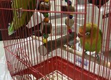 طيور للزينه بدون توصيل للتواصل في واتس اب