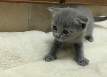 قطه سكوتش فولد العمر 3 شهور