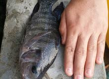 أسماك بلطي للبيع أو للبدل