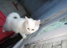 قطة انجورا للبيع