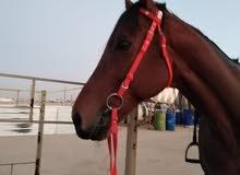 للبيع حصان انقليزي فحل