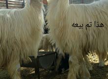 كبش رملي فحل ضخم ومد وشور وحار ع لحلال