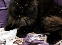 قطه شيرازيه..