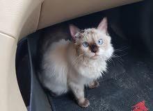 قطط سيامي سلالة بالينيز سلالة نقية وممتازة مابين السيامي والهمالايا