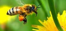 ادارة وتربية خلايا النحل