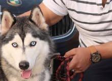 كلب هاسكي روسي اصلي نضيف للبيع