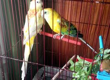 love bird   sahar