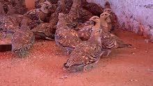 طيور قطا عراقي