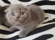 Scottish kittens with pedigree