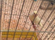 عصافير للبيع