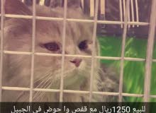 قطه للبيع ب1250ريال بالجبيل
