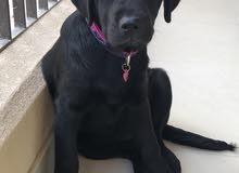 Labradour Puppy 3 months old لابرادور انثى