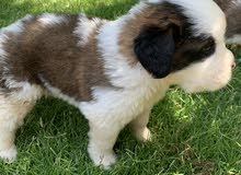 Saint Bernard puppies for sale, vaccinated and dewormed.
