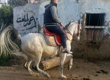 كابتن محمود سامي عاسف ومدرب ادب ورقص الخيوال بي مدينه رابغ 0533197585