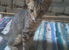 قطة ماو المصرية الاصلية للبيع